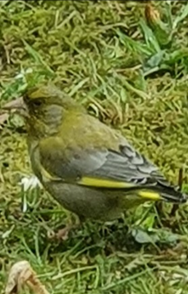 Green Finch by Elis Smits