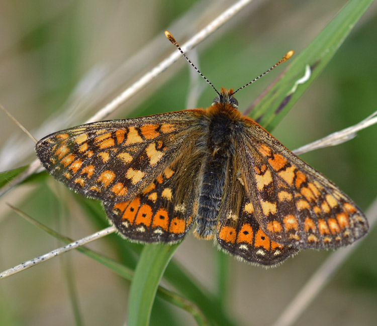 Marsh Fritillary by Liam Olds