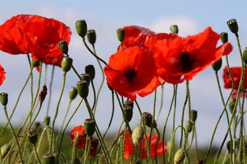 Poppies - Alun Williams