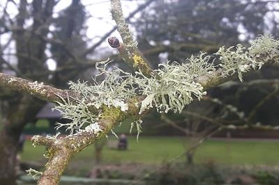 Tree Lichen association