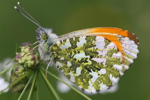 Orange tip - Alun Williams