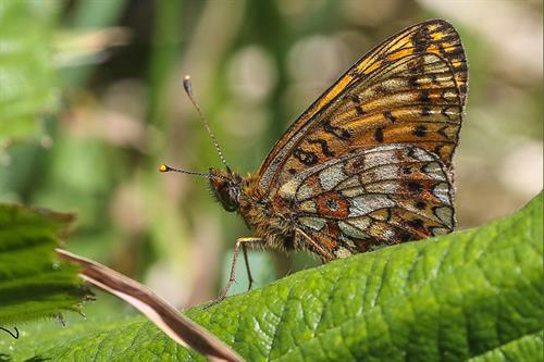 Pearl bordered fritillary - Alun Williams