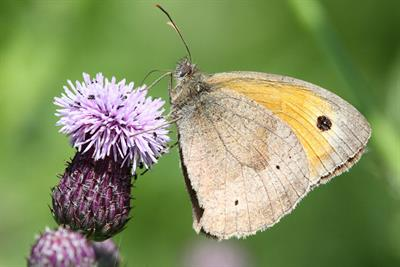 Meadow brown - Alun Williams